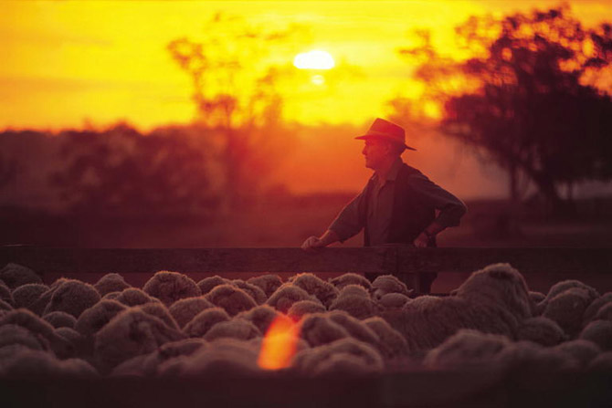 herding sheep -Toowoomba car broker